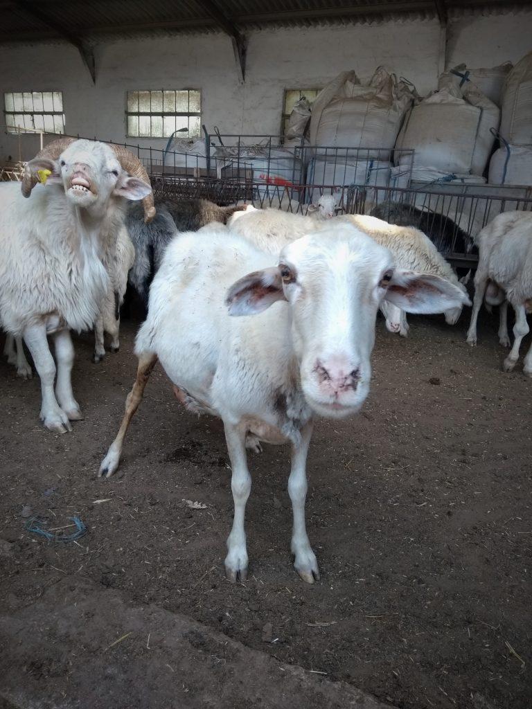 a bárány, akit nem ettünk meg